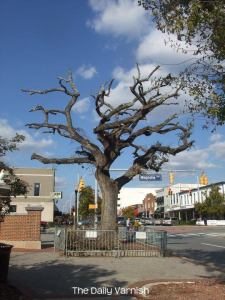 One of the Toomers Oaks, November 2012
